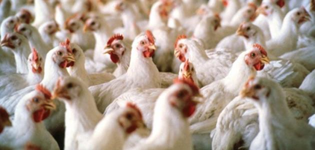 نائب عراقي يكشف عن قضية فساد باستيراد دجاج من الصين مختوم باسم شركة اردنية ..  تفاصيل