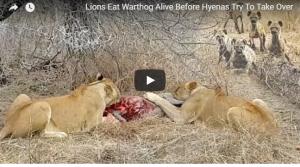 بالفيديو :هجوم جنوني لقطيع من الضباع على لبؤتين!