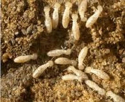 ملايين النمل الأبيض تهاجم غرف نوم وكنب وأثاث خشيبي للمواطنين وعمارات تحت قيد الإنشاء في الأردن!
