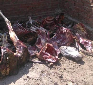 العثور على 25 حماراً مذبوحاً في القاهرة