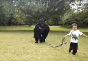 بالفيديو  ..  لقطات مخيفة لطفل صغير يلعب مع غوريلا ويجلس بين أحضانها