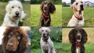 فيروس كورونا: تدريب كلاب لاكتشاف المصابين بالوباء في كندا