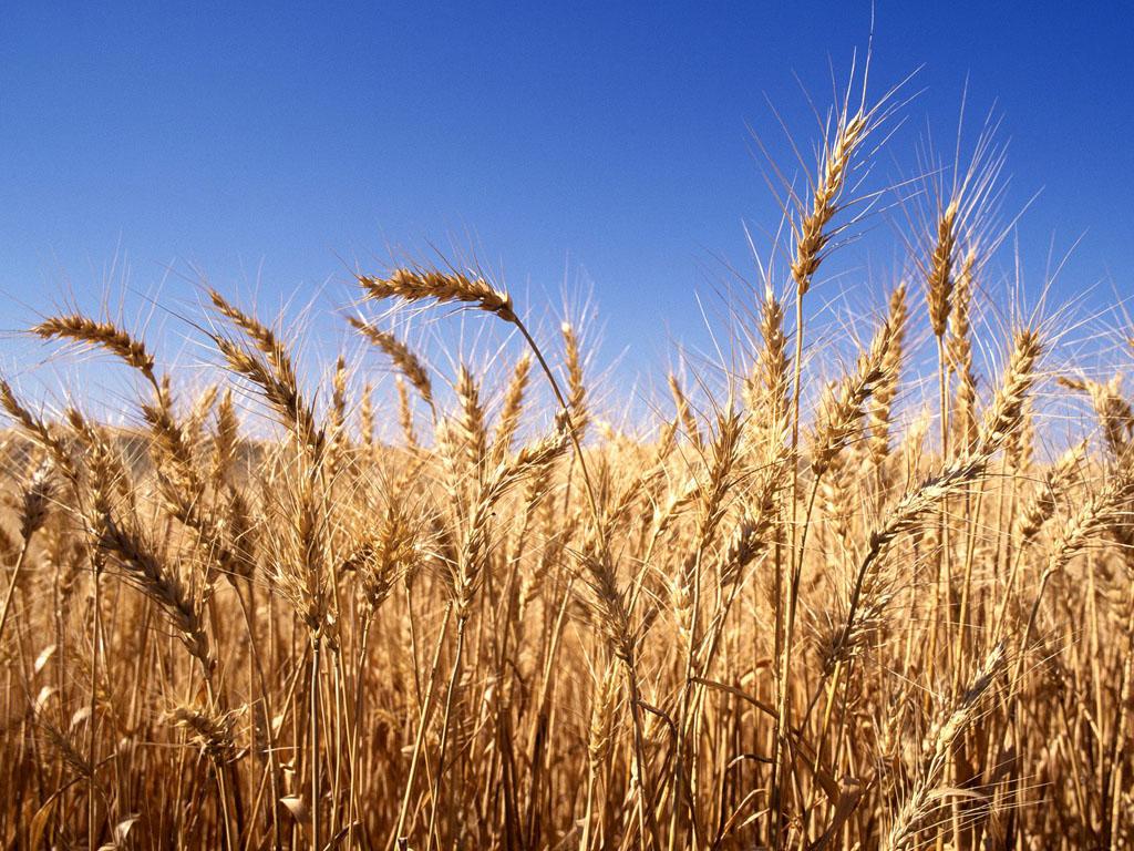 """""""الصناعة والتجارة"""" :مخزون القمح والكميات المتعاقد عليها يغطيان استهلاك 11 شهراً"""
