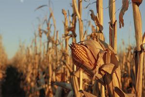 مزارع يدفن طفلين سرقا الذرة من حقله