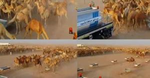 فيديو..في مشهد مدهش.. هكذا انطلقت الإبل الظمأى لشرب الماء!