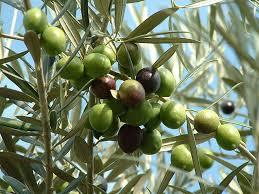 تصدير 6 آلاف طن زيتون اردني الى اسرائيل