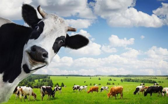 الحنفيات :تمديد وقف استيراد الأبقار حتى 2019