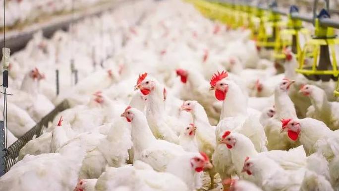 """مطالبات بتحويل """"محتكري الدجاج"""" لأمن الدولة بعد تسببهم بالإضرار بالاقتصاد الوطني"""