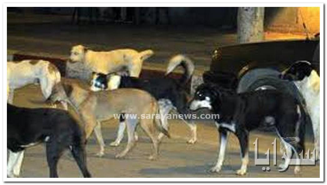 بالصور .. قطعان كلاب تجوب شوارع الرمثا وتهدد حياة المواطنين