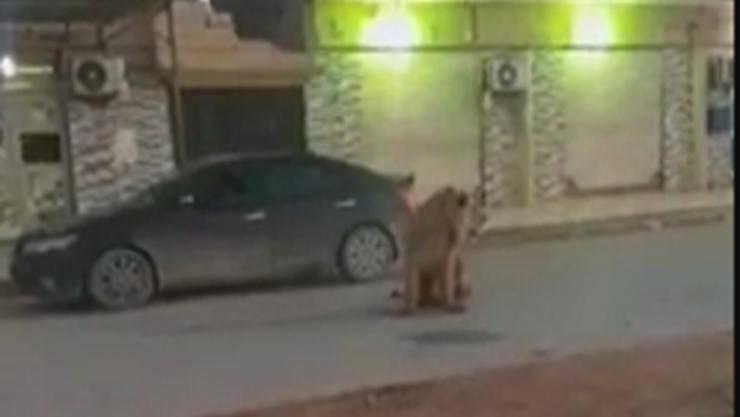 فيديو ..  كاميرا ترصد أسدا تائها في بنغازي
