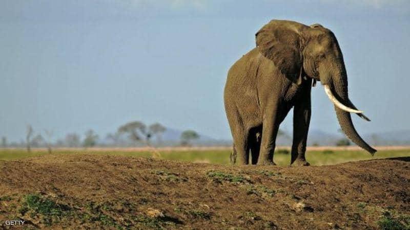 بعد الاعتداء على مولودها ..  أنثى فيل تدهس رجلا حتى الموت