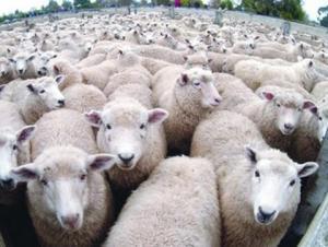 الزراعة تبدأ استقبال طلبات السماح باستيراد الأغنام الحية تحضيراً لشهر رمضان