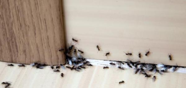 بدون رش ..  ست طرق للتخلص من النمل