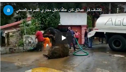 بالفيديو ..  اكتشاف فأر عملاق كان عالقًا داخل مجاري الصرف الصحي
