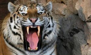 جنوب إفريقيا  ..  نمر سيبيري يقتل عاملاً في متنزه ترفيهي في ثوانٍ