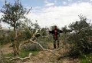 المستوطنون يقطعون أشجار زيتون مثمرة قرب سلفيت