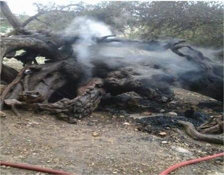 النيران تلتهم جزءاً من شجرة عمرها 800 عام