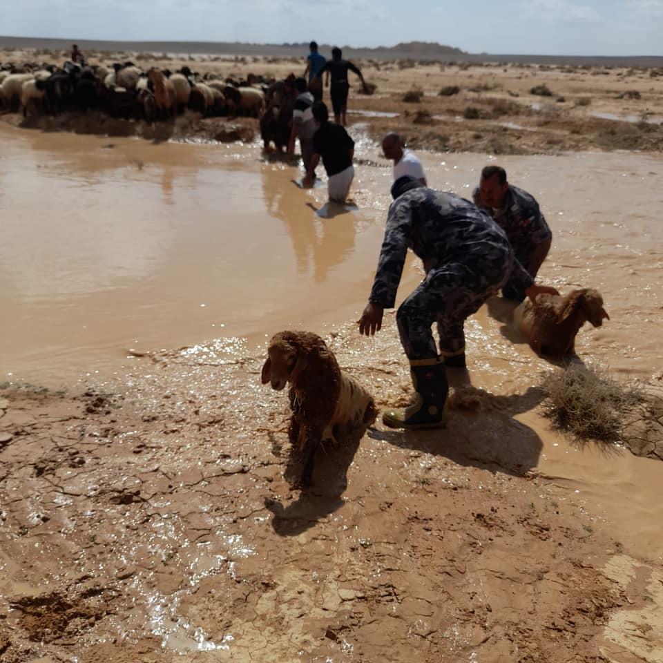 بالصور ..  الدفاع المدني ينقذ 45 رأس غنم سقطت في بركة تجمع مياه أمطار