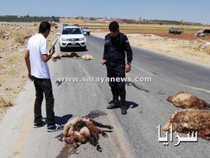 بالصور.. نفوق 35 رأس اغنام بعد تدهور شاحنه في اربد