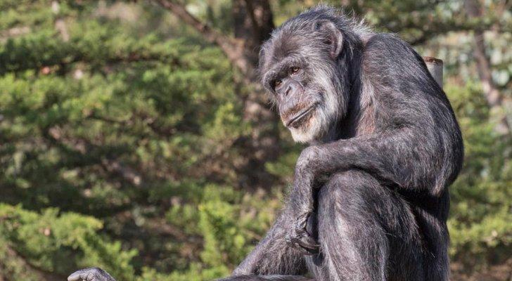 نفوق أكبر شمبانزي معمر بالولايات المتحدة عن عمر 63 عاما  .. صور