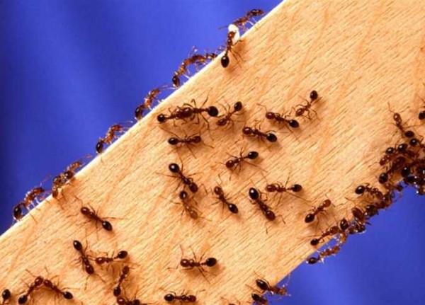 بعد احتلاله المطبخ ..  أربع طرق للتخلص من النمل