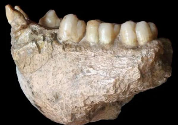 استخراج مواد وراثية من حفريات قرد عملاق عمرها نحو مليوني سنة