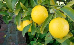 """""""الزراعة"""": لا رخص جديدة لاستيراد الليمون"""