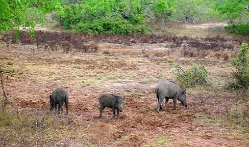 مزارعو الاغوار يشكون الخنازير الاسرائيلية