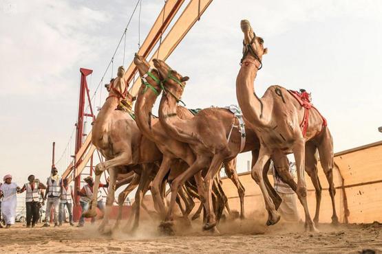 تقنية تشبه الـ VAR تحسم سباق الإبل في السعودية !