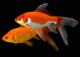 تفسير حلم رؤيا السمك في المنام