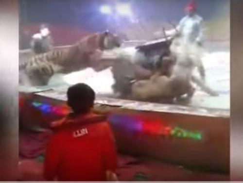 فيديو صادم   ..  أسد و نمر يفترسان حصاناً أثناء عرض للسيرك