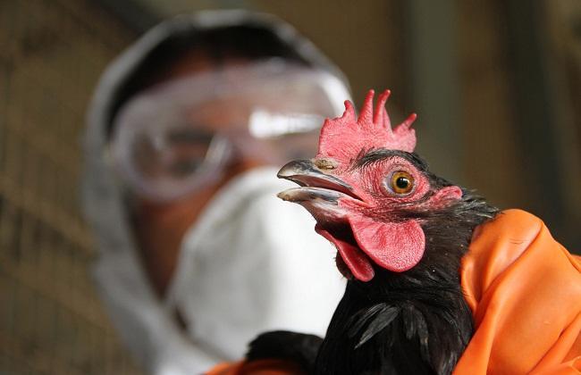 بعد كورونا ..  فيروسات تختبئ تحت أجنحة الطيور