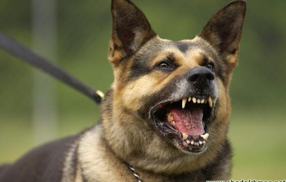 عمان : توقيف شابين في البيادر  ارعبا طالبات مدرسة بكلب الماني ضخم