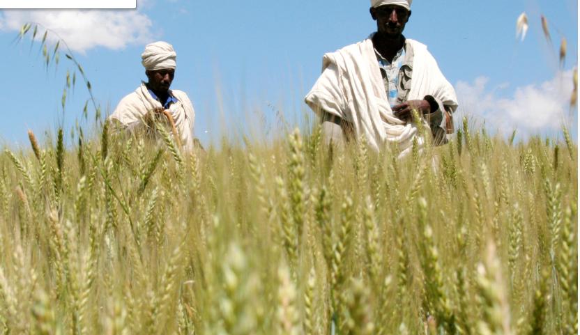 فكرة مجنونة يمكنها أن تُنهي الجوع في العالم ..  قمح يمكن حصاده في 92 يوماً