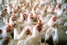 بالتفاصيل .. الحكومة تحدد سقوفا سعرية للدجاج