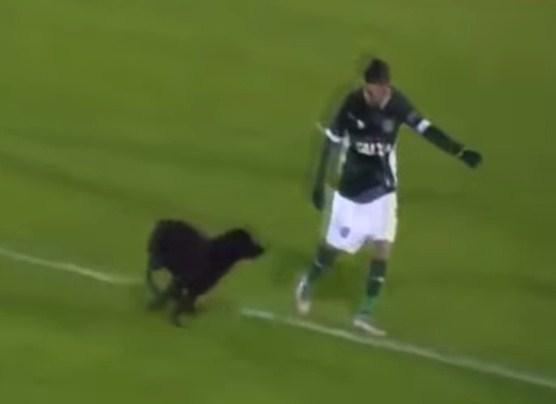 بالفيديو  ..  عندما تدخل الحيوانات ملعب المباراة
