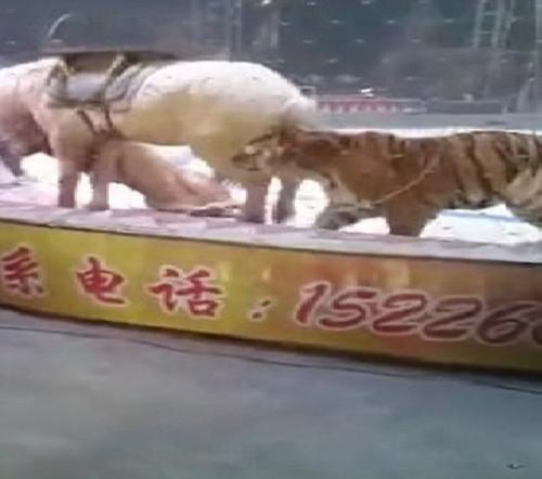 فيديو صادم ..  أسد ونمر يفترسان حصانًا أثناء عرض للسيرك