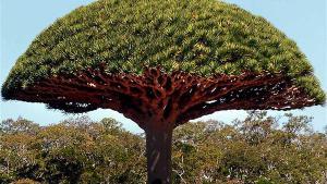قصة شجرة الكوك الذي صنع منها نوح سفينته وفضائلها
