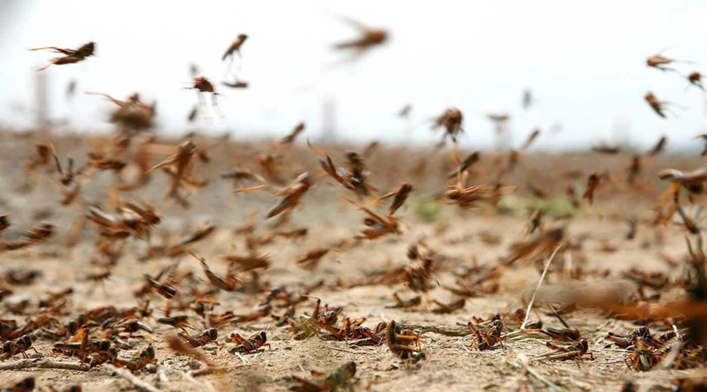الزراعة وصول اعداد محدودة من الجراد الصحراوي للمدورة