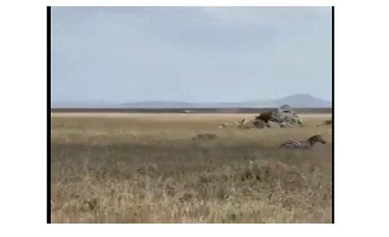بالفيديو :لبوة تحاول مباغتة الحمار الوحشي لكن الرد كان قاسي