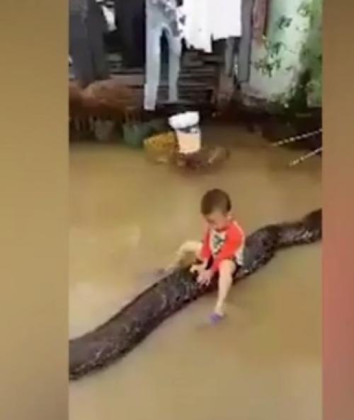 بالفيديو ..  طفل يعتلي ظهر افعى عملاقة طولها 7 امتار ويلعب معها