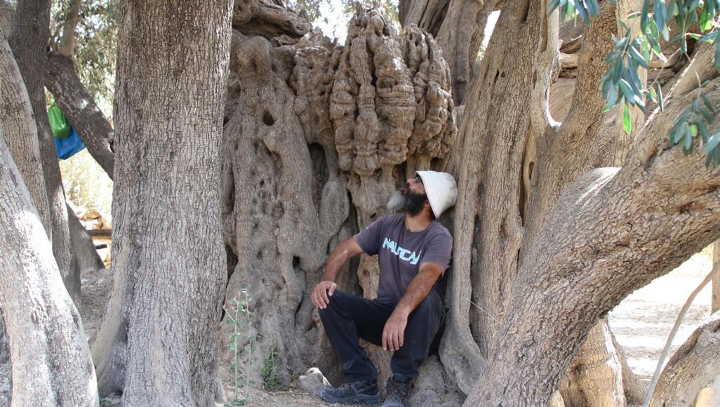 عمرها 5 آلاف سنة ..  تعرف على أقدم شجرة زيتون في فلسطين