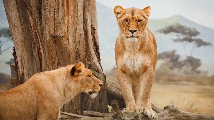 كيف تقتل السياحة الحيوانات في إفريقيا؟