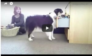 بالفيديو: تعرف على الكلبة التي تنجز جميع أعمال صاحبتها المنزلية