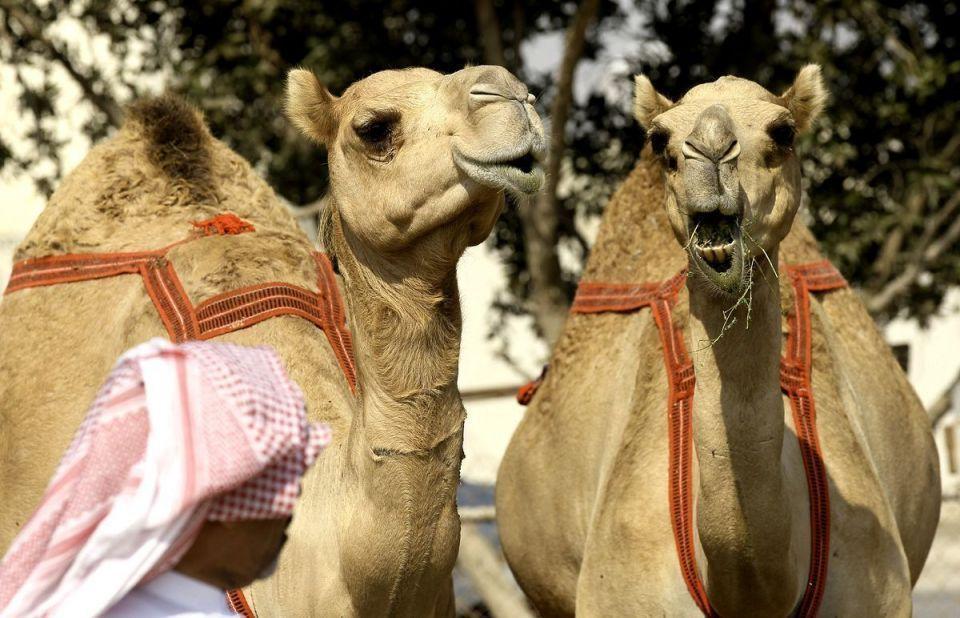 السعودية تحظر إجراء العمليات التجميلية للإبل ..  بينها تكبير الوجه