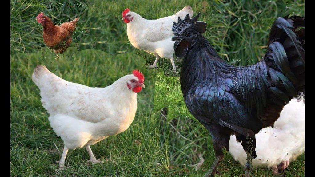 ماذا يعني رؤية الدجاج في المنام