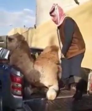 أردنيون ينحرون جمالا ترحيبا بضيف المملكة الشيخ تميم