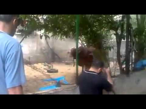 """بالفيديو  ..  شخص يطلق النار تجاه """"عجل"""" بعد فقدان السيطرة عليه"""