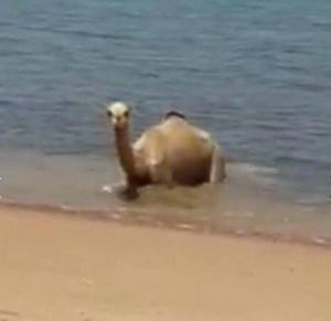 بالصور .. جمل يسبح في خليج العقبة هرباً من اشعة الشمس الحارقة !!