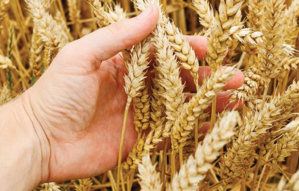 """""""الزراعة"""" تتسلم اكثر من 51 الف طن قمح وشعير"""